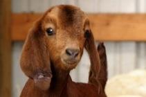 21-cute-baby-goats-to-make-your-morning-beautiful-1-29823-1382977089-3_big